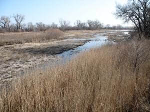 Invasive Phragmites Along The Platte River