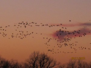 cranes fly across the sunset sky